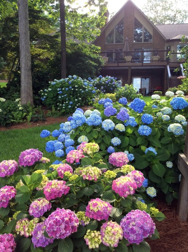 hostas and hydrangeas - finegardening