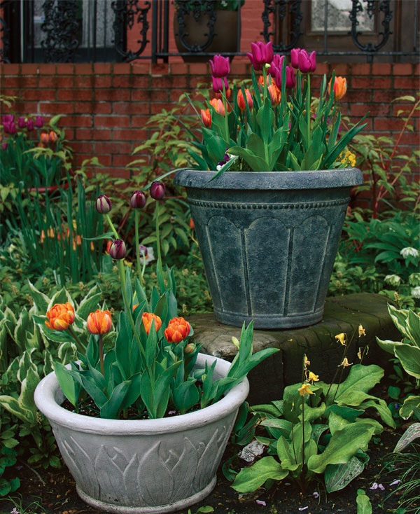 plant tulips in pots - finegardening