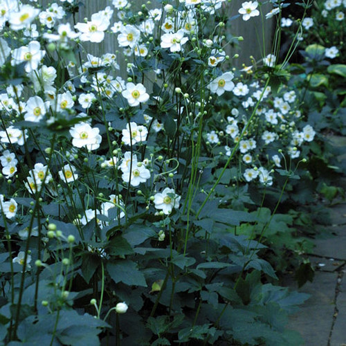 Honorine Jobert Japanese Anemone Finegardening