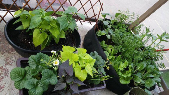 खाद्य पौधे कंटेनरों में बढ़ रहे हैं
