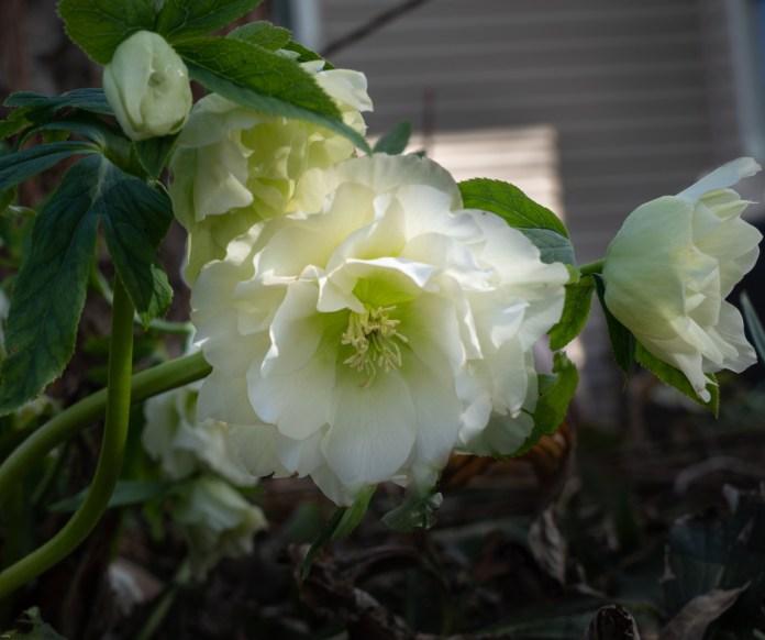 झालरदार सफेद पंखुड़ियों वाला फूल