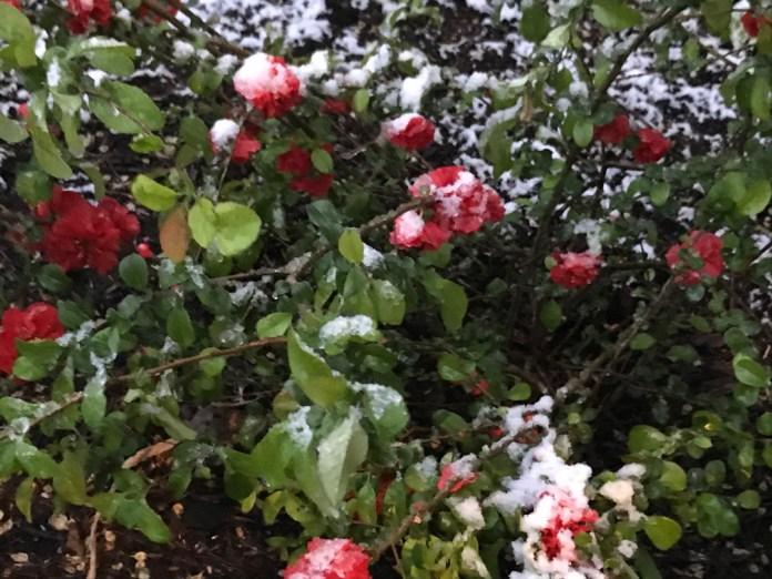 बर्फ में ढँकी हुई फूल की क्वीन