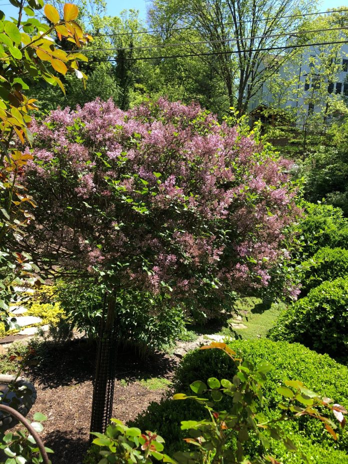 lilac plant in bloom