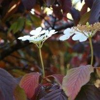 'Summer Snowflake' doublefile viburnum with fall bloom
