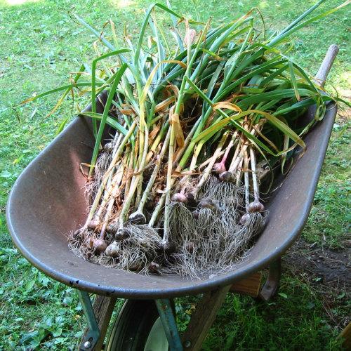 Harvesting Garlic Finegardening