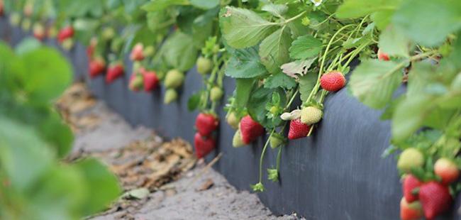 florida strawberry volume starts strong