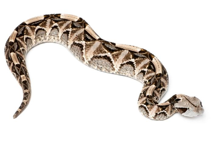 Gaboon viper - Bitis gabonica, poisonous, white background