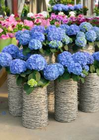 25 Hydrangea Flower Pot and Planter Arrangements (PHOTOS)