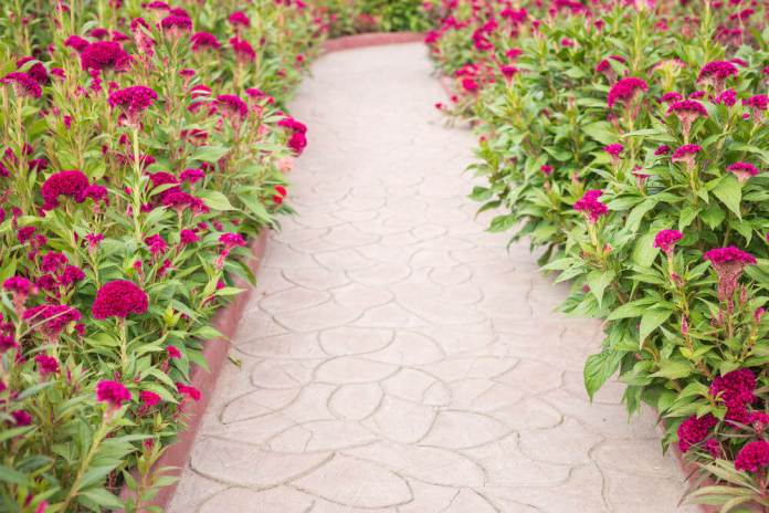 Purple blossoms dominate the corners of this simple pathway made of concrete pavers.
