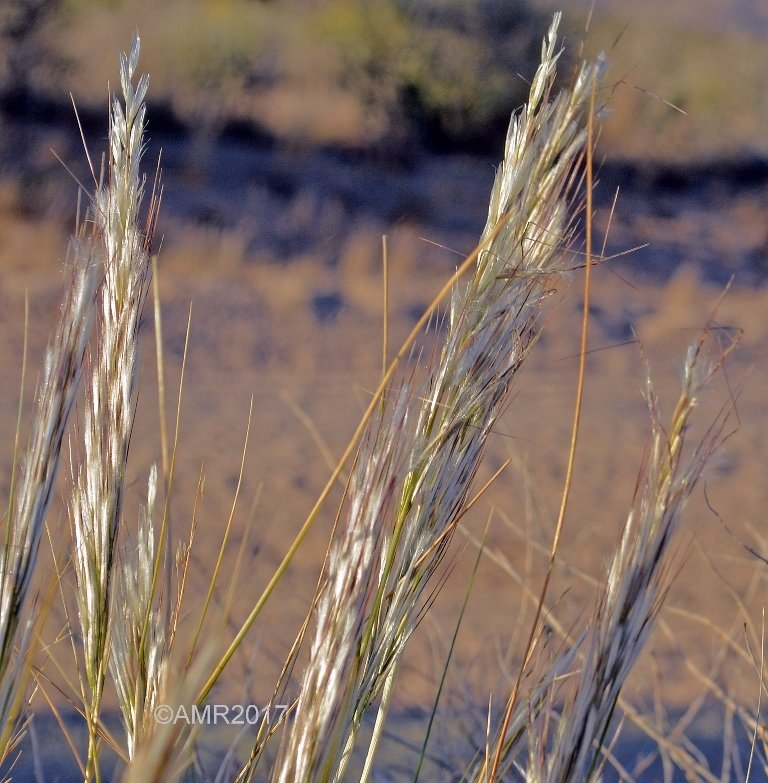 Curly Mesquite Grass Seed