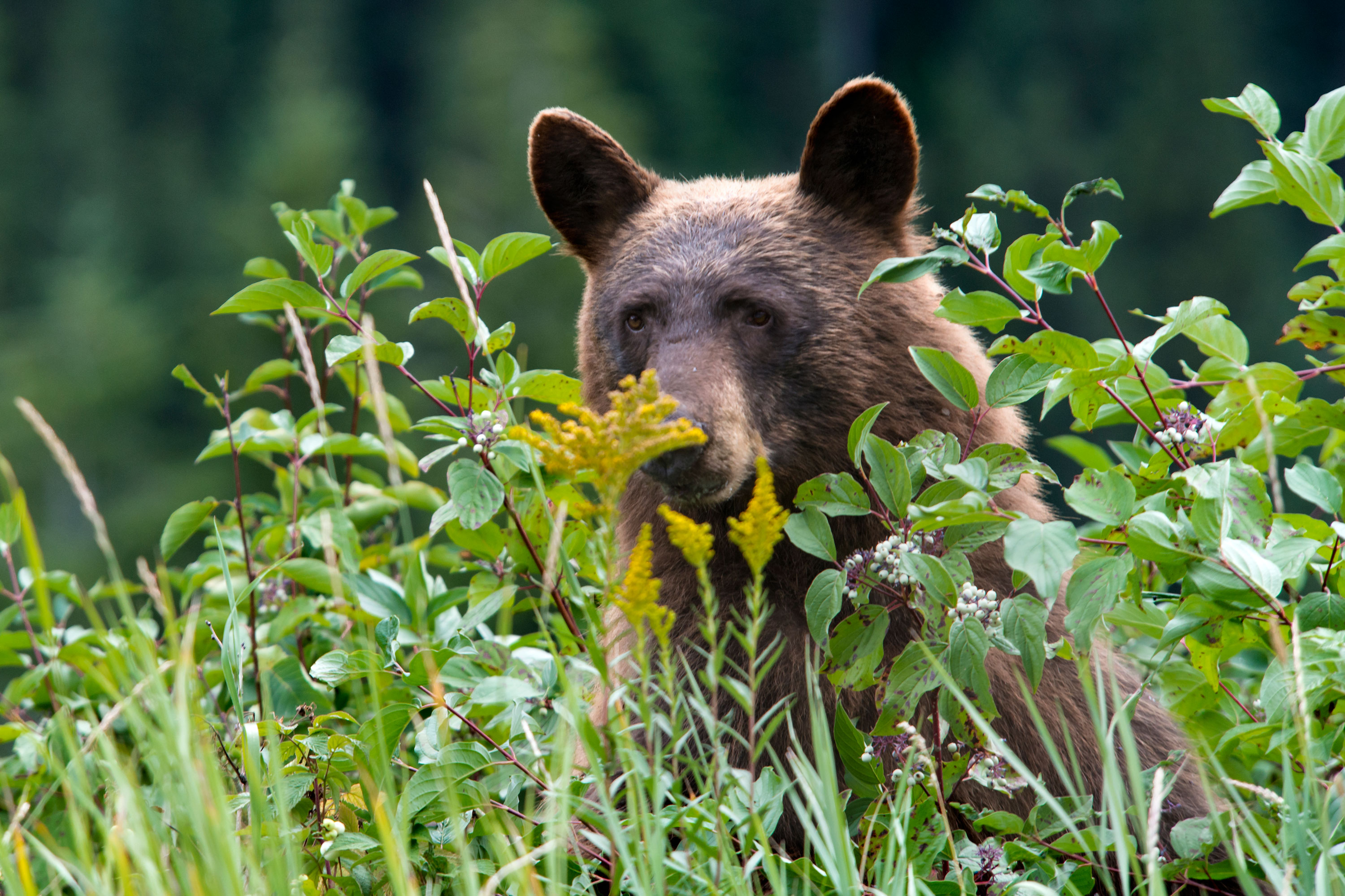 grizzly black bear behavior
