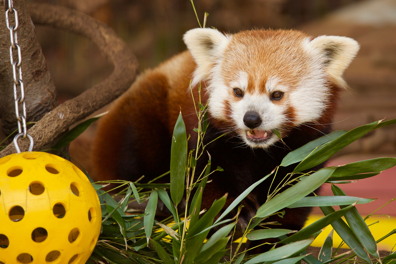 Panda Animal Name In Hindi
