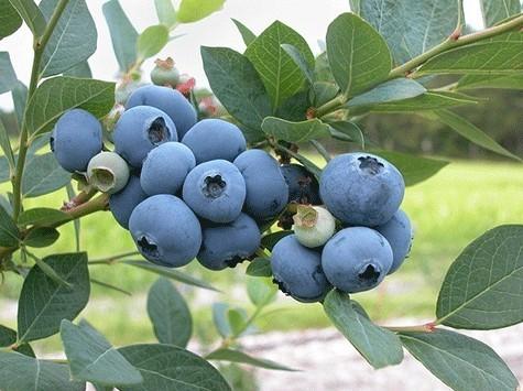 blueberry bushes are neato