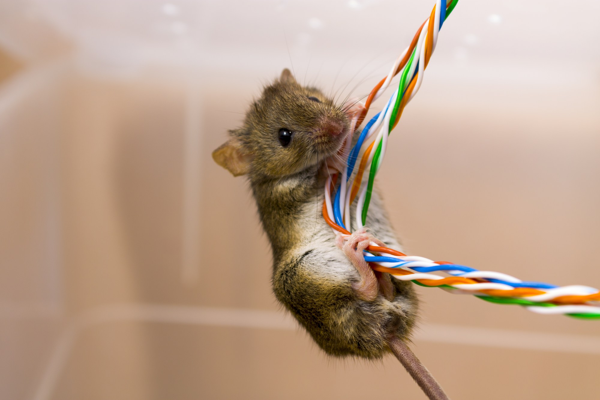 hight resolution of rodents chewing wiring
