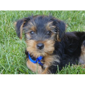 Enchanting Yorkie Puppy Cut Floppy Ears Yorkie Puppy Cut Grooming