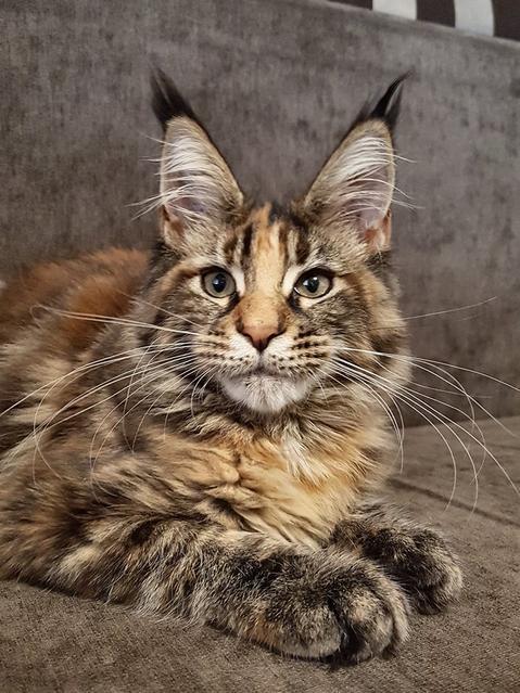 Maine Coon Cats For Sale In Iowa : maine, Maine, Rescue, Lerona,, Virginia
