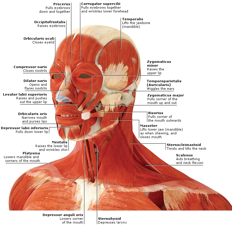 Human Head And Neck Muscles Diagram Muscular System Bio 201 Libguides At Otero Junior College