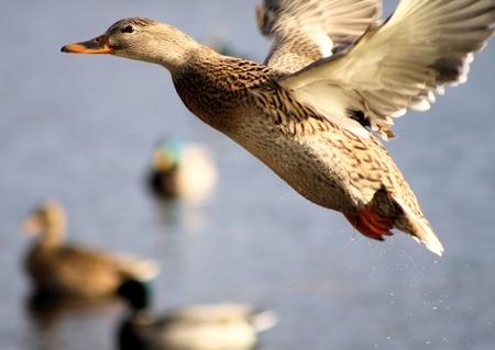 saving wild ducks why