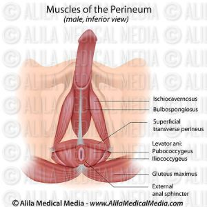 Alila Medical Media   Muscles of the perineum in male