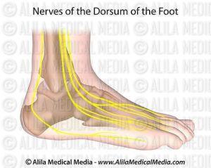 Alila Medical Media   Nerves of foot   Medical illustration