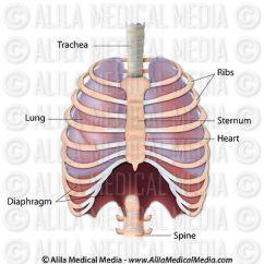 Bird Diagram Unlabeled Toyota Tundra Engine Alila Medical Media | Respiratory System Images