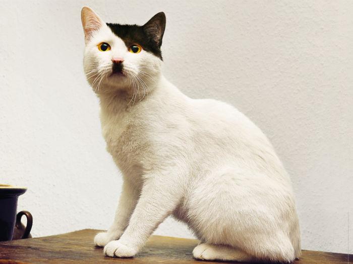 marcas de pelajes de gatos muy divertidas - el gato de Hitttler Kitler