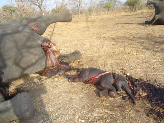 Dead mother with calf still attached to umbilical cord. The Chairman of SOS Elephants Chad, Stephanie Vergniault, told mongabay.com that this calf was likely born during the shooting attach by poachers only to perish. Photo courtesy of SOS Elephants in Chad.