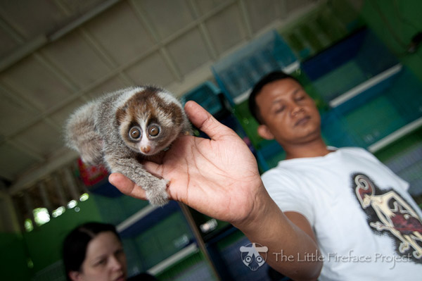 This baby Sumatran slow loris has little chance to survive. Only a few weeks old, it should live with its mother in the wild for 14 months, but instead is being sold into the pet trade, doomed to a diet of bananas and rice. Photo by: The Little Fireface Project.