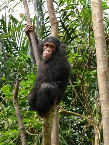 Un projet de plantation de palmiers  huile menace la survie des chimpanzs et lphants de la