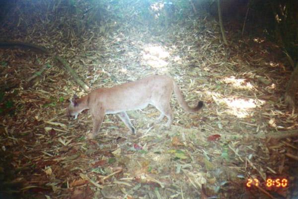 Puma on camera trap in Honduras. Photo by: Franklin E. Castañeda.