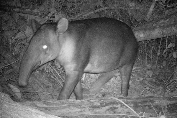 Baird's tapir caught on camera trap in Nicaragua's Caribbean coast. Photo courtesy of Christopher Jordan.