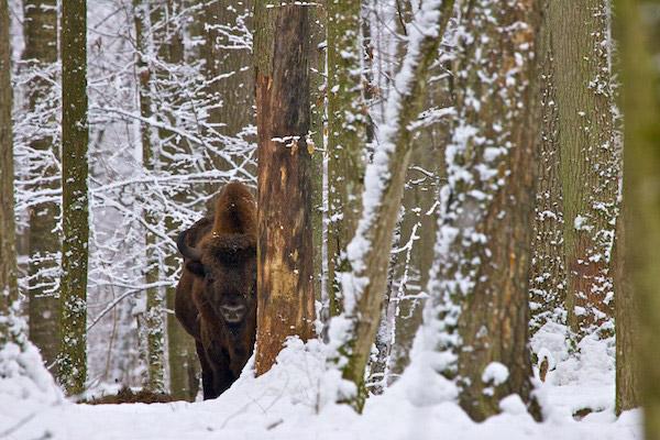 European bison in winter. Photo by: Lukasz Mazurek.