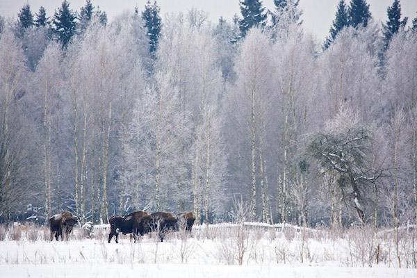 Winter scene in Bialowieza. Photo by: Lukasz Mazurek.