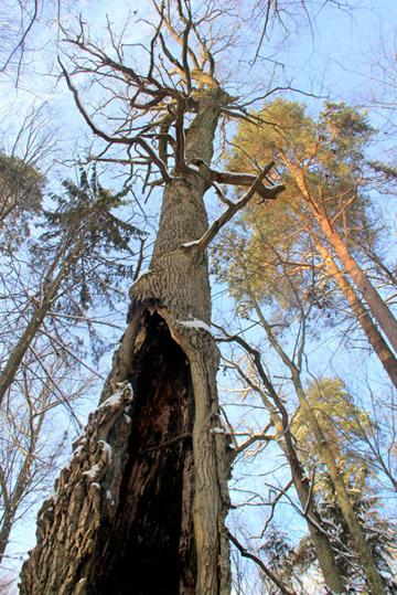 Old tree in Bialoweiza. Photo by: Jeremy Hance.