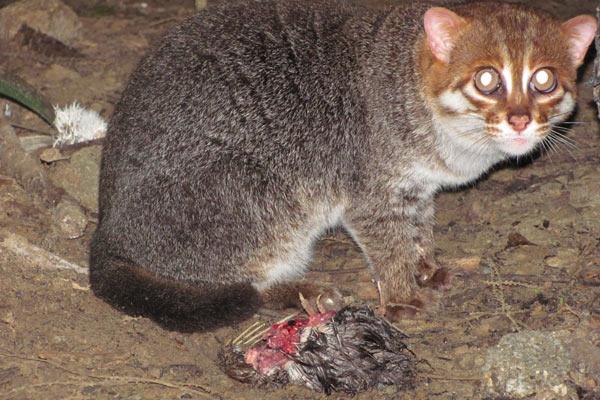 Foto Inilah JenisJenis Kucing yang Ada di Asia Tenggara