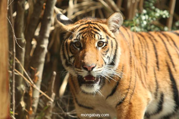 Malayan tiger. Photo by: Rhett A. Butler.