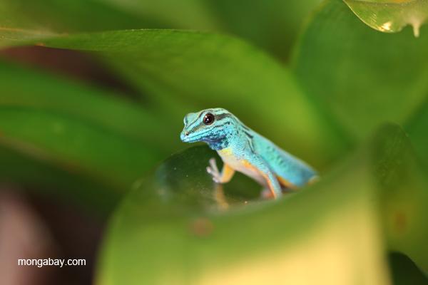 Williams Electric Blue Gecko Lygodactylus williamsi