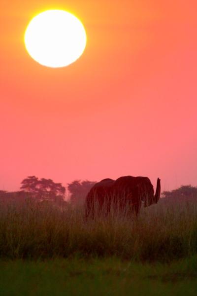 African elephant Loxodonta africana under the setting