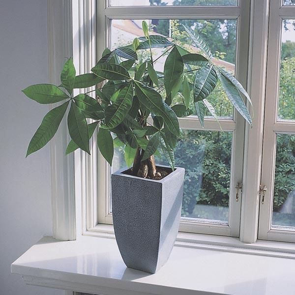 money plant money tree