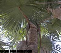 Detalle de las hojas de Tahina spectabilis