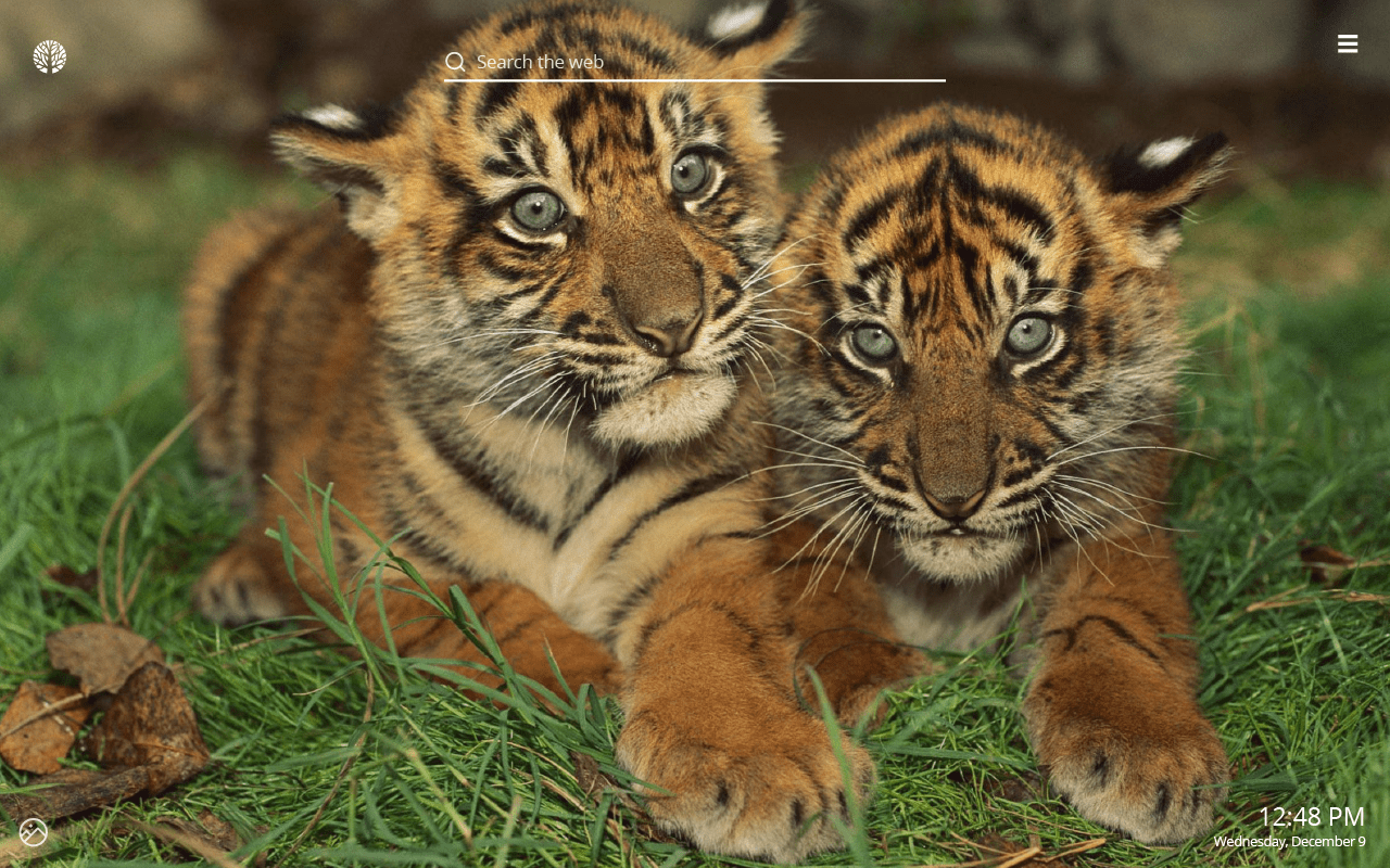 baby tigers hd wallpapers