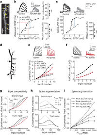 Synaptic amplification by dendritic spines enhances input