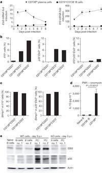 IL-35-producing B cells are critical regulators of