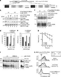 Antiproliferative protein Tob directly regulates c-myc