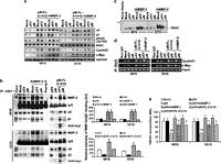 Role of MMP-2 in the regulation of IL-6&Stat3 survival