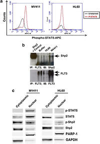 The protein tyrosine phosphatase, Shp2, positively