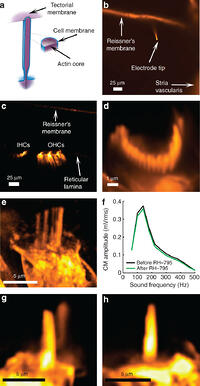 Sound-induced length changes in outer hair cell
