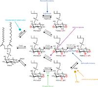 Subversion of phosphoinositide metabolism by intracellular
