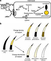 Genetics, development and evolution of adaptive