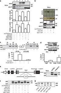 Figure 5: Regulation of NFAT5 alternative splicing by ddx5